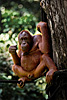 photo: Forest Man - Feeding time at the Sepilok Orangutan Rehabilitation Center, where orangutans are trained for re-introduction into the jungle.  Semi-rehabilitated orangutans arrive from the nearby forest to shamelessly gorge on a banana lunch.  Once the food coma kicks in, they lounge around and allow tourists to fill up their memory cards with their photogenic faces.