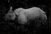 One Horn Photo: At the Chitwan National Park, a wild, one-horned rhinoceros eyes us suspiciously while chewing on an evening snack.