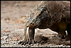 Forked Photo: A Komodo Dragon sniffs the air with its tongue.