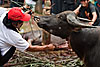 Attempt (Funeral Ritual I) Photo: This christian area in Indonesia is famed for their elaborate funeral traditions.  Families save their entire lives to in order to pay for animals to slaughter when loved one dies.  It's not uncommon for a wealthy family to slaughter 50 water buffaloes and 100 pigs over the course of several days.  The meat is later distributed to local villagers.