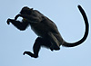 Mid-Air (Leaping Monkeys I) Photo: Air-borne monkeys hurl themselves from tree to tree.