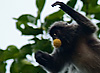 Leaves (Leaping Monkeys II) Photo: Air-borne monkeys hurl themselves from tree to tree.