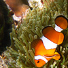 Colorful Clown Photo: Clown fish swim among the tentacles of a sea anemone in the crystal clear waters off Ko Lipe.