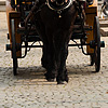Comely Carriage Photo: A horse and buggy cart tourists around Vrijdagmarkt Square.