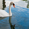 Warring Waterbird Photo: A swan wades around a canal in Annecy's historic city center.