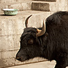 Yak Traffic Jam Photo: A meandering yak snarls traffic in downtown Deqin (ARCHIVED PHOTO on the weekends - originally photographed 2007/10/10).