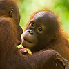 Jungle Man Photo: Baby orangutans play on a rope at the Sepilok Rehabilitation Center on the island of Borneo, Malaysia (ARCHIVED PHOTO on the weekends - originally photographed 2006/09/06).